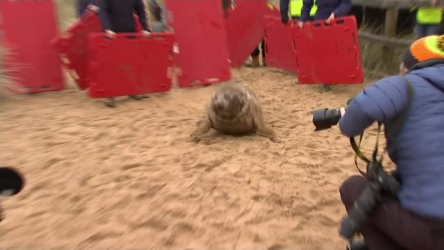 frisbee the seal returned to the wild after nearly dying when she got a frisbee stuck around her neck england norfolk horsey ext alison charles... - horsey england bildbanksvideor och videomaterial från bakom kulisserna
