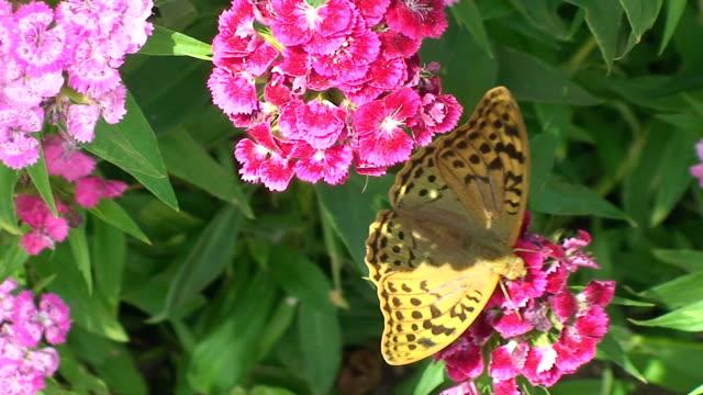 stockvideo's en b-roll-footage met fritillary butterfly - vachtpatroon