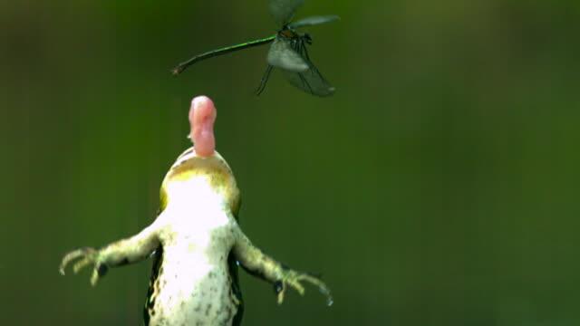 vídeos y material grabado en eventos de stock de slomo frog attacks damselfly in marsh, germany - rana