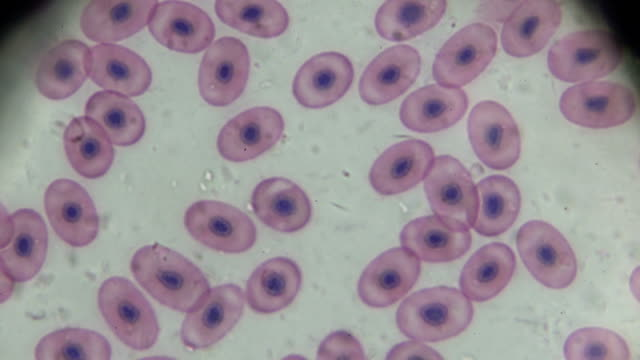 frog blood smear under microscopy - micrografia video stock e b–roll