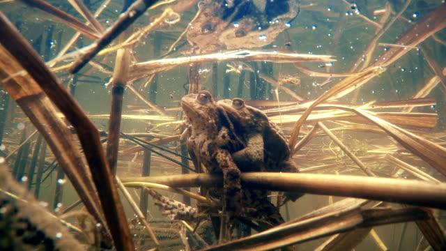 vidéos et rushes de grenouille en couple - accouplement animal