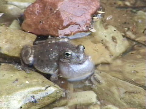 MS Frog croaking in pond / USA