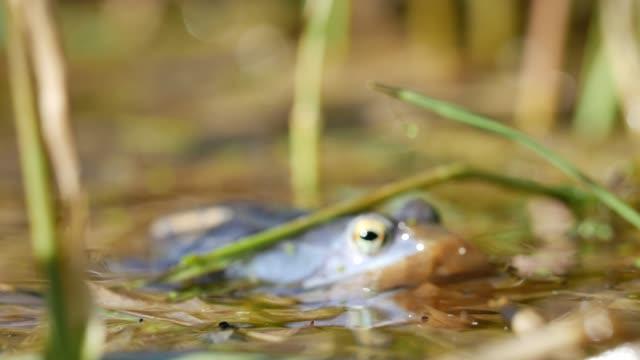frog croaks in shallow swamp - dissolvenza in chiusura video stock e b–roll