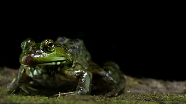 frog eating and spitting pheropsophus jessoensis - ugliness stock videos & royalty-free footage