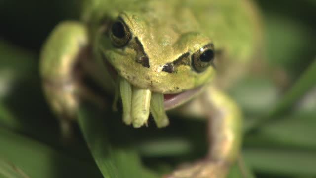 Frog Eating Catantopidae