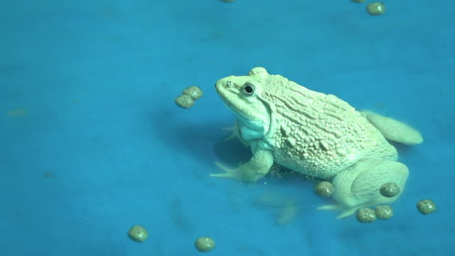 vídeos de stock e filmes b-roll de frog eating food slow motion - réptil