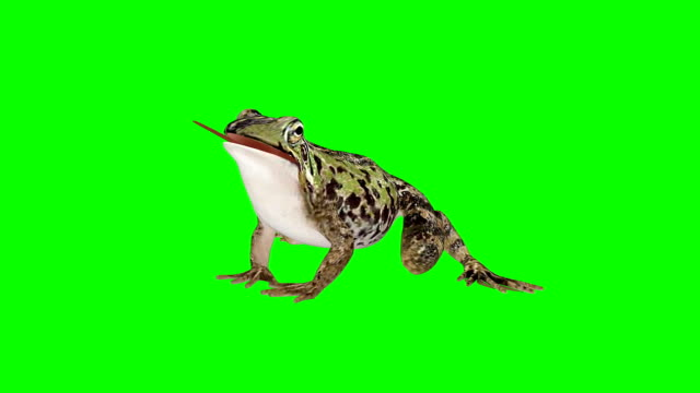 Frog Eating Green Screen (Loopable)