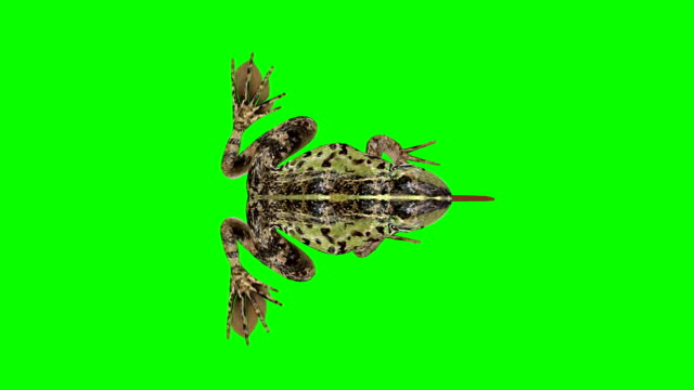 frog eating green screen (loopable) - green matte stock videos & royalty-free footage
