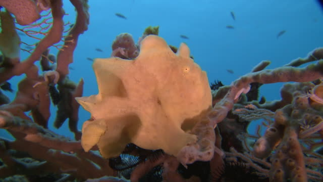 frog fish with fins adapted as 'hands', southern visayas, philippines - ugliness stock videos & royalty-free footage