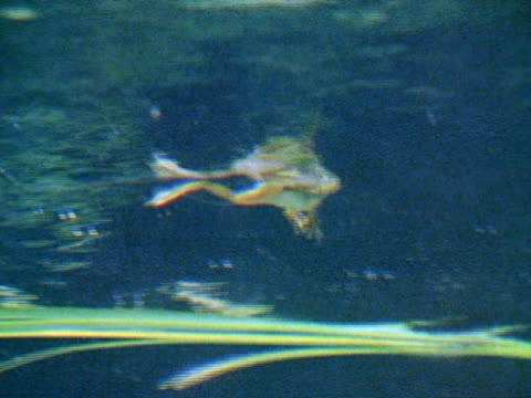 frog floating on top of water td ms large mouth bass near sandy bottom in clear water w/ mouth open closing amp swimming away out of frame - pond stock videos & royalty-free footage