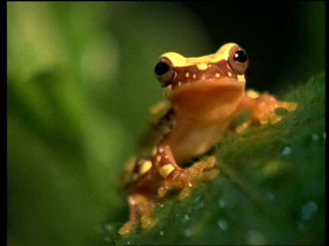 CU Frog, Hyla ebracatta, on leaf, jumps off