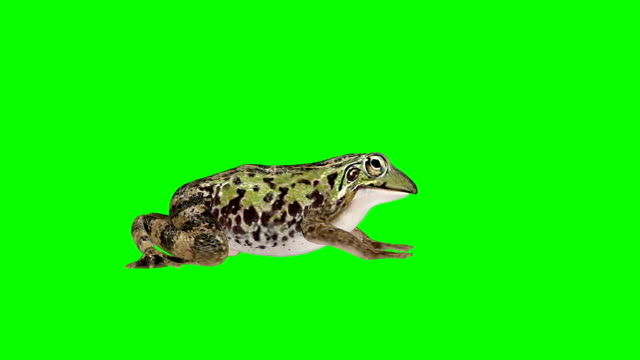 Frog Idle Green Screen (Loopable)