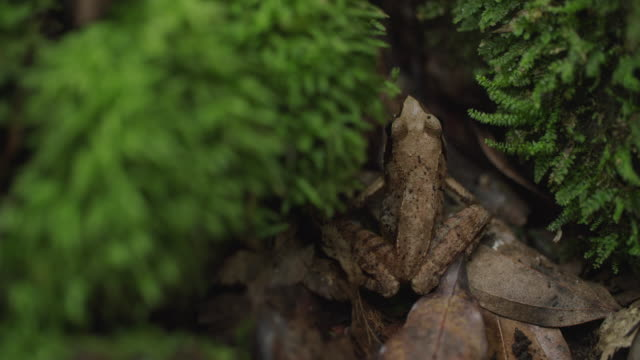 a frog in grass of 'gotjawal' forest / jeju-si, jeju-do, south korea - disguise stock videos & royalty-free footage