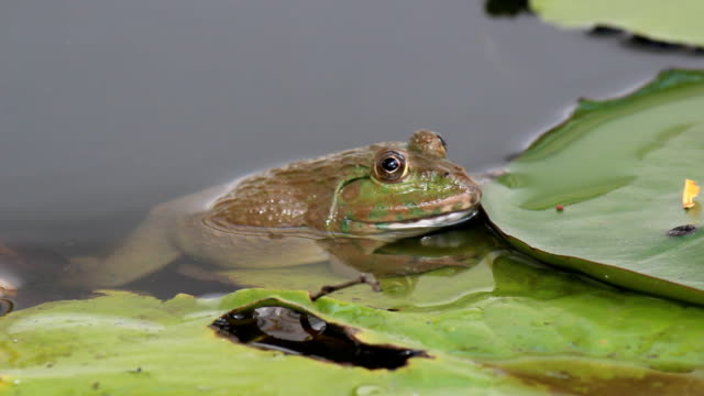 frog in pond - pond stock videos & royalty-free footage
