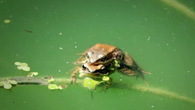 stockvideo's en b-roll-footage met kikkers in de vijver - parende dieren
