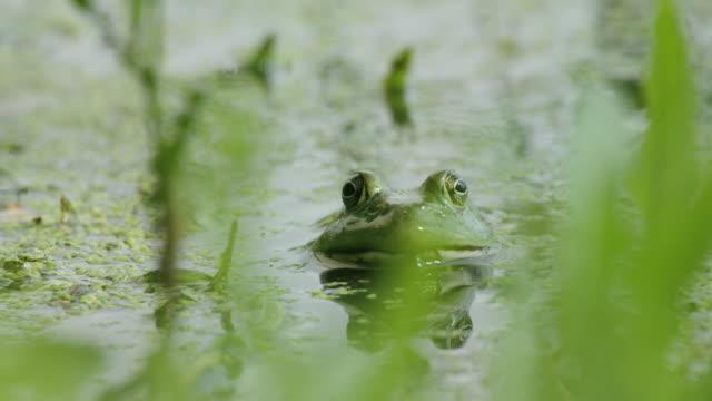 vídeos y material grabado en eventos de stock de frog in the water - rana