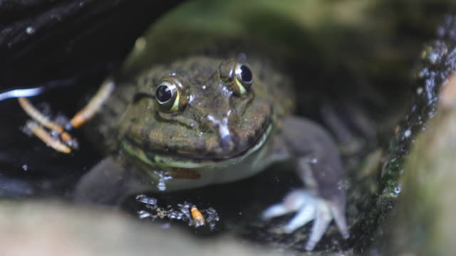 frog in the water - slippery stock videos & royalty-free footage