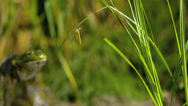 a frog jumps out of  shallow water and snags a mayfly on the tip of a blade of grass. - aquatic plant stock videos & royalty-free footage