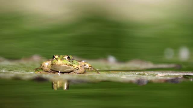 Frog on lily pad in pond