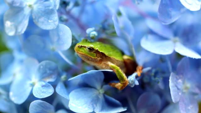 vídeos y material grabado en eventos de stock de rana en hortensia - rana