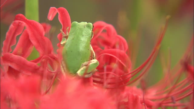 a frog perches in a spider lily. - day lily stock videos & royalty-free footage