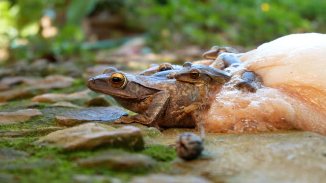 frog reproduction - reptile stock videos & royalty-free footage