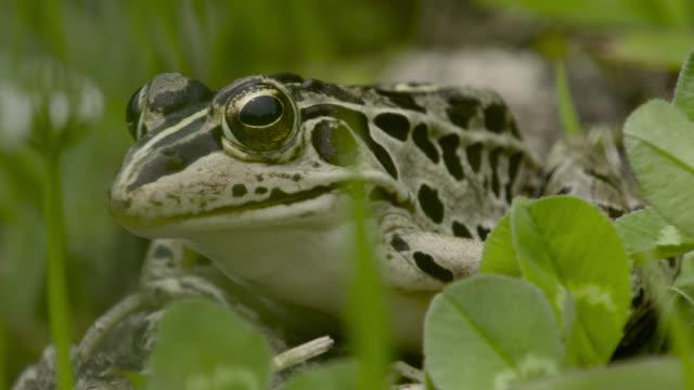 frog sits amongst grass, japan. - takashima shiga stock videos & royalty-free footage