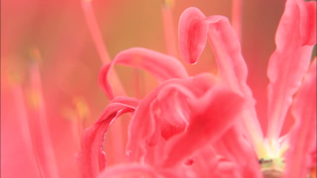 a frog sits in the middle of a pink spider lily. - day lily stock videos & royalty-free footage
