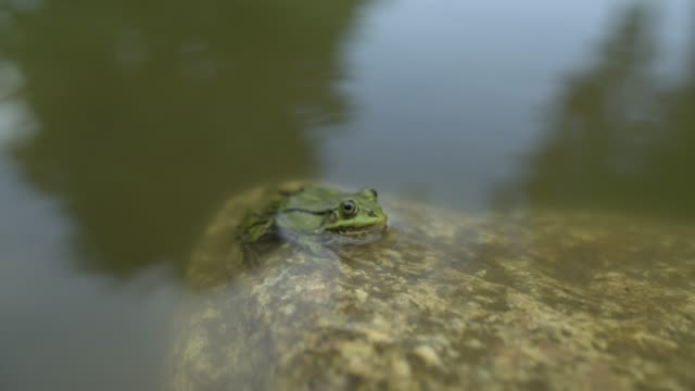 frog sits in the water and looks - endangered species stock videos & royalty-free footage