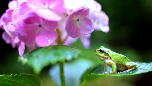vídeos y material grabado en eventos de stock de rana tendido sobre un hortensia hoja - hortensia