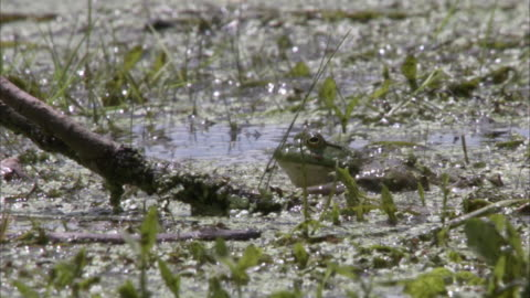 a frog slowly and carefully creeps through marshy water. - marsh stock videos & royalty-free footage
