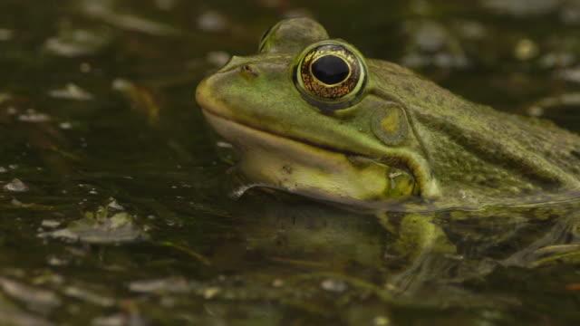 vidéos et rushes de grenouille (astrakhan nature reseve) - étang