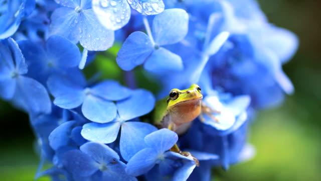 vídeos y material grabado en eventos de stock de rana - hortensia