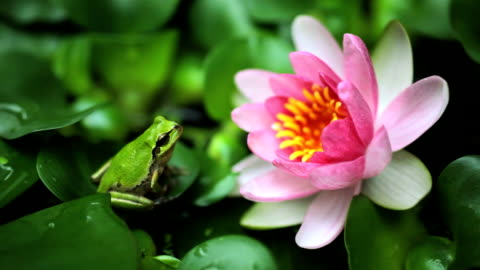 frog - lily stock videos & royalty-free footage