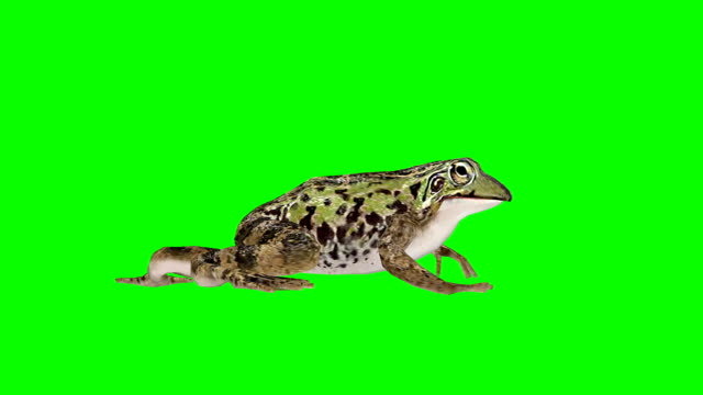 frog walking green screen (loopable) - frog stock videos and b-roll footage