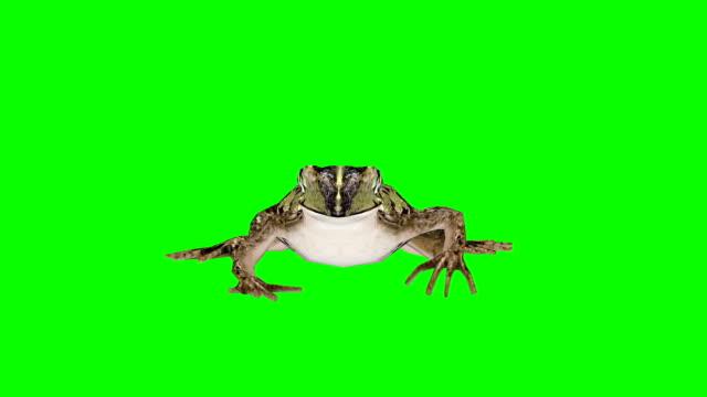 frog walking green screen (loopable) - green matte stock videos & royalty-free footage