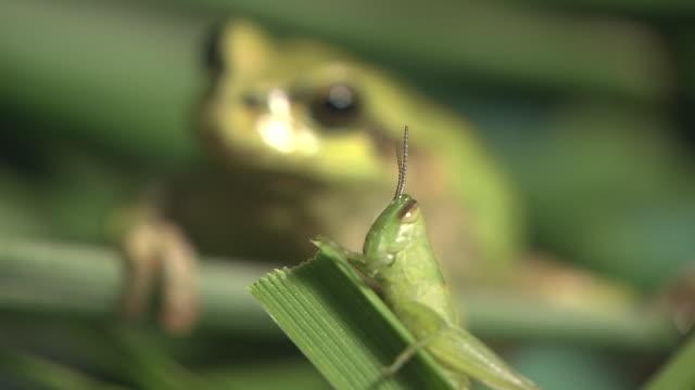 Frog Watching Catantopidae