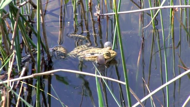 froggy songs - aquatic organism stock videos & royalty-free footage