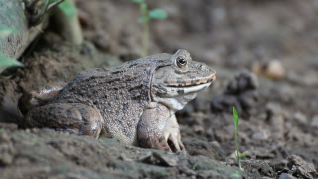 Frog[Hoplobatrachus rugulosus]