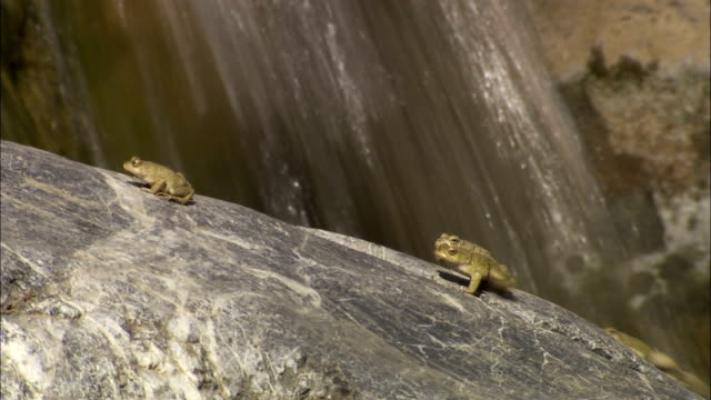 frogs attempt to climb a smooth boulder. available in hd. - masso video stock e b–roll