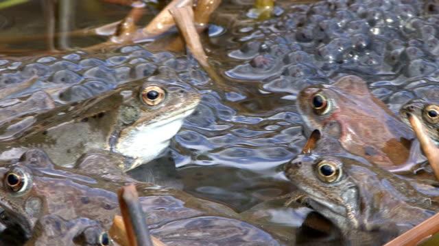 stockvideo's en b-roll-footage met frogs in a puddle - parende dieren