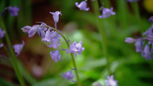 ZOOM OUT from CLOSE UP to MEDIUM SHOT bluebell flowers blow in breeze