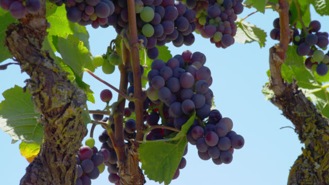zoom out from close up to medium shot purple and green grapes on vines in vineyard - grape stock videos & royalty-free footage