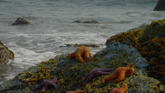 ZOOM OUT from CLOSE UP to MEDIUM SHOT starfish on rocks at edge of surf, Oregon