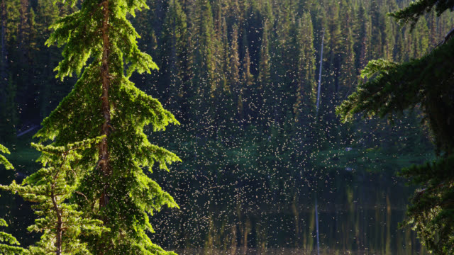 vídeos de stock, filmes e b-roll de zoom out from close up to medium shot swarm of insects over reflection lake lined by pine forest - reflection