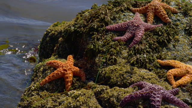ZOOM OUT from CLOSE UP to WIDE SHOT group of starfish on rock at water's edge