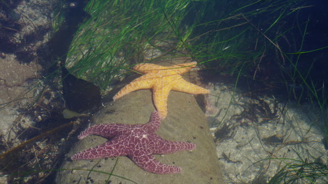 "ZOOM OUT from CLOSE UP two WIDE SHOT of two starfish ""holding handsù on rock in shallow water as grasses move back and forth"