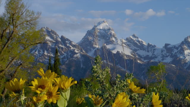 zoom out from close up yellow daisies to wide shot with snowy grand teton and teton range in background, grand teton national park, wyoming - parco nazionale del grand teton video stock e b–roll