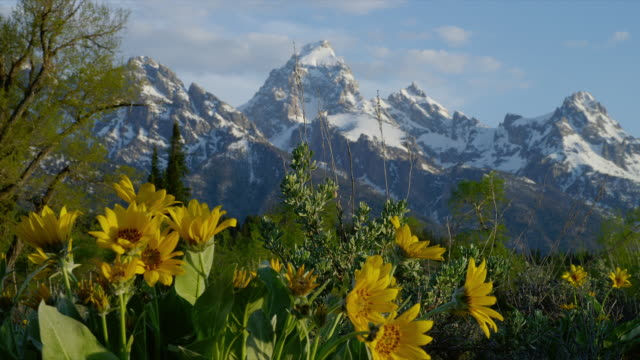 zoom out from close up yellow daisies to wide shot with snowy grand teton and teton range in background, grand teton national park, wyoming - grand teton stock-videos und b-roll-filmmaterial