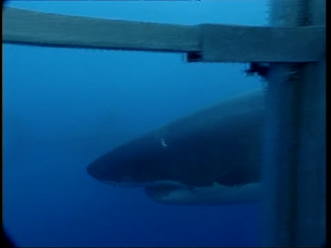 MS POV from inside shark cage of Great White Shark swimming past, Guadalupe Island, Pacific Ocean
